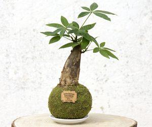 Kokedama de Pachira de un solo tronco