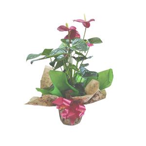 Anthurium natural