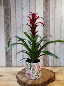 Bromelia roja grande