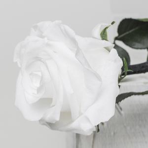 Rosa preservada Tallo largo blanca