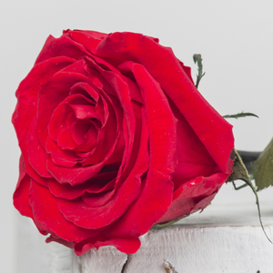 Rosa preservada Tallo largo