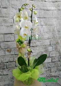 Planta - Orquídea blanca