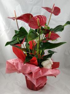 Planta natural - Anthorium
